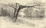 image of landscape drypoint etching Garry Oaks III by David Ladmore depicting Garry Oak trees in Beacon Hill Park, Victoria, BC