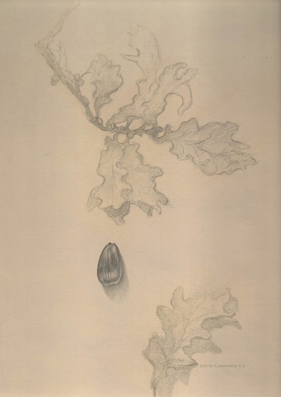 image of still-life goldpoint and silverpoint drawing Oak, Autumn Study by David Ladmore